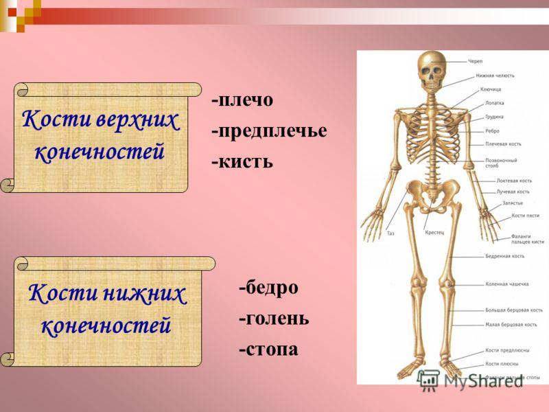 Кости верхних конечностей Кости нижних конечностей -плечо -предплечье -кисть -бедро -голень -стопа