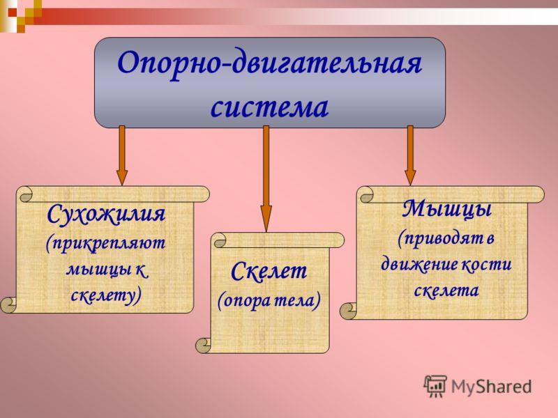 Опорно-двигательная система Сухожилия (прикрепляют мышцы к скелету) Скелет (опора тела) Мышцы (приводят в движение кости скелета