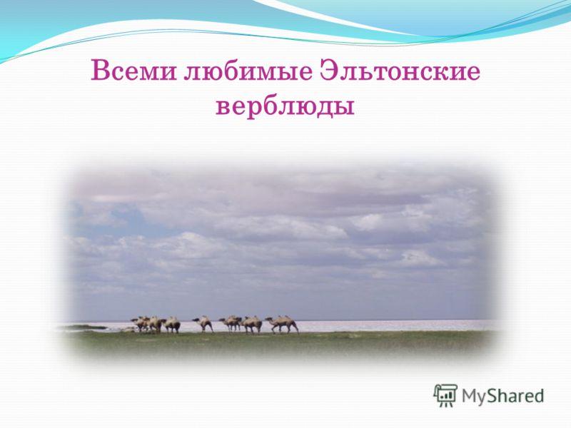 Всеми любимые Эльтонские верблюды