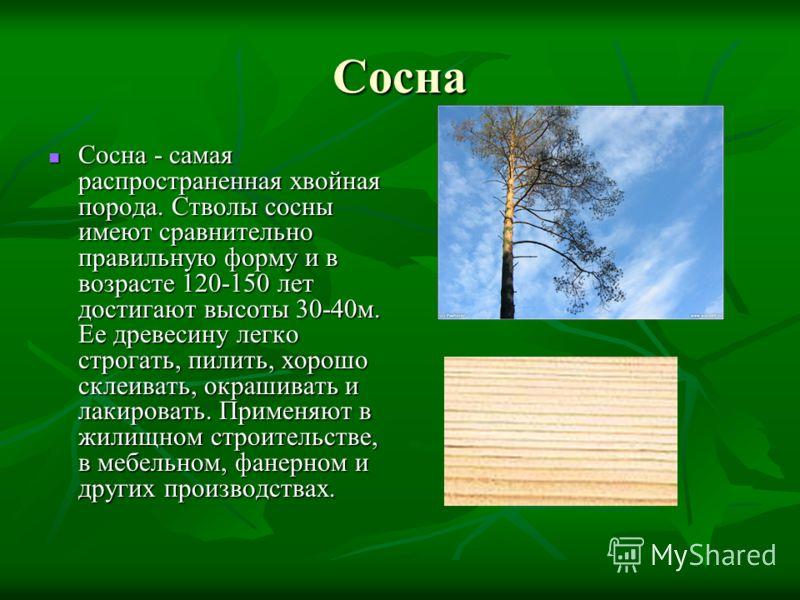 Сосна Сосна - самая распространенная хвойная порода. Стволы сосны имеют сравнительно правильную форму и в возрасте 120-150 лет достигают высоты 30-40м. Ее древесину легко строгать, пилить, хорошо склеивать, окрашивать и лакировать. Применяют в жилищн