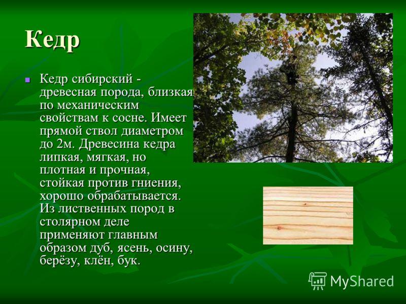 Кедр Кедр сибирский - древесная порода, близкая по механическим свойствам к сосне. Имеет прямой ствол диаметром до 2м. Древесина кедра липкая, мягкая, но плотная и прочная, стойкая против гниения, хорошо обрабатывается. Из лиственных пород в столярно