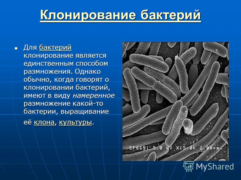 Клонирование бактерий Клонирование бактерий Для бактерий клонирование является единственным способом размножения. Однако обычно, когда говорят о клонировании бактерий, имеют в виду намеренное размножение какой-то бактерии, выращивание её клона, культ
