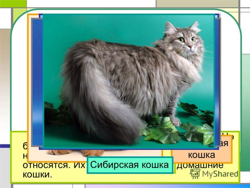 На свете около 60 разных пород кошек. Но большинство тех кошек, которые живут в наших квартирах, ни к какой породе не относятся. Их называют просто – домашние кошки. Обычная домашняя кошка Персидская кошка Сиамская кошкаРусская голубаяСибирская кошка