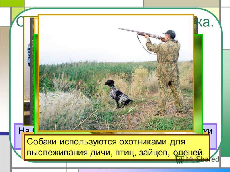 Собака – помощник человека. На Севере ездовые собаки перевозят упряжки с людьми и грузами. Слепым людям надёжно служат собаки-поводыри. Милиционерам собаки помогают разыскивать нарушителей закона. Пастухам собаки помогают пасти стада животных. В воен