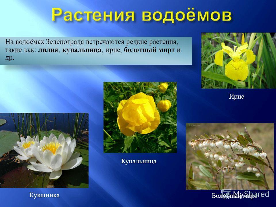 На водоёмах Зеленограда встречаются редкие растения, такие как: лилия, купальница, ирис, болотный мирт и др. Ирис Купальница Кувшинка Болотный мирт