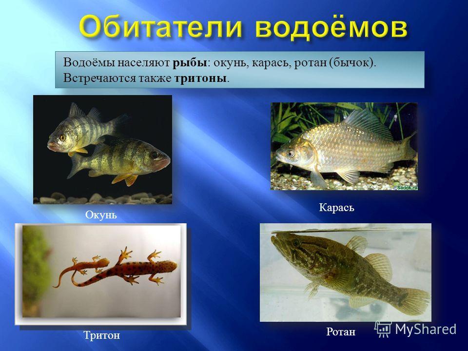 Водоёмы населяют рыбы : окунь, карась, ротан (бычок). Встречаются также тритоны. Окунь Карась Ротан Тритон