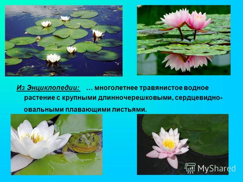 Из Энциклопедии: … многолетнее травянистое водное растение с крупными длинночерешковыми, сердцевидно- овальными плавающими листьями.