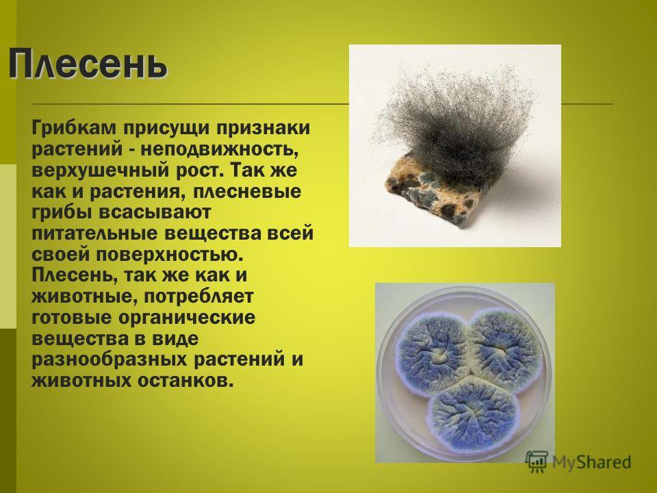 Плесень Грибкам присущи признаки растений - неподвижность, верхушечный рост. Так же как и растения, плесневые грибы всасывают питательные вещества всей своей поверхностью. Плесень, так же как и животные, потребляет готовые органические вещества в вид