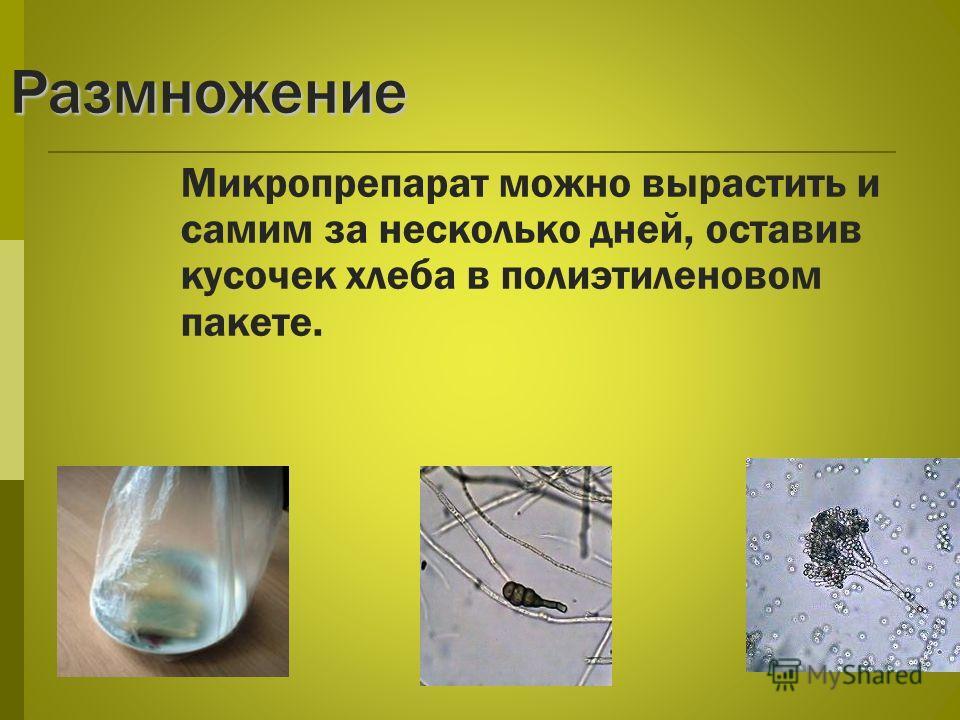 Размножение Микропрепарат можно вырастить и самим за несколько дней, оставив кусочек хлеба в полиэтиленовом пакете.