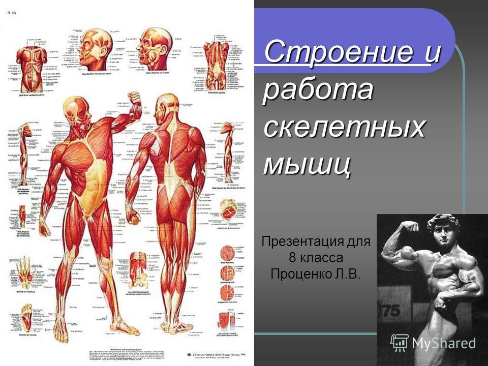 Лабораторная работа по биологии 8 класс мышцы