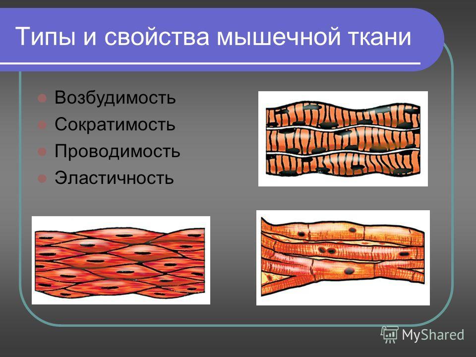 Типы и свойства мышечной ткани Возбудимость Сократимость Проводимость Эластичность