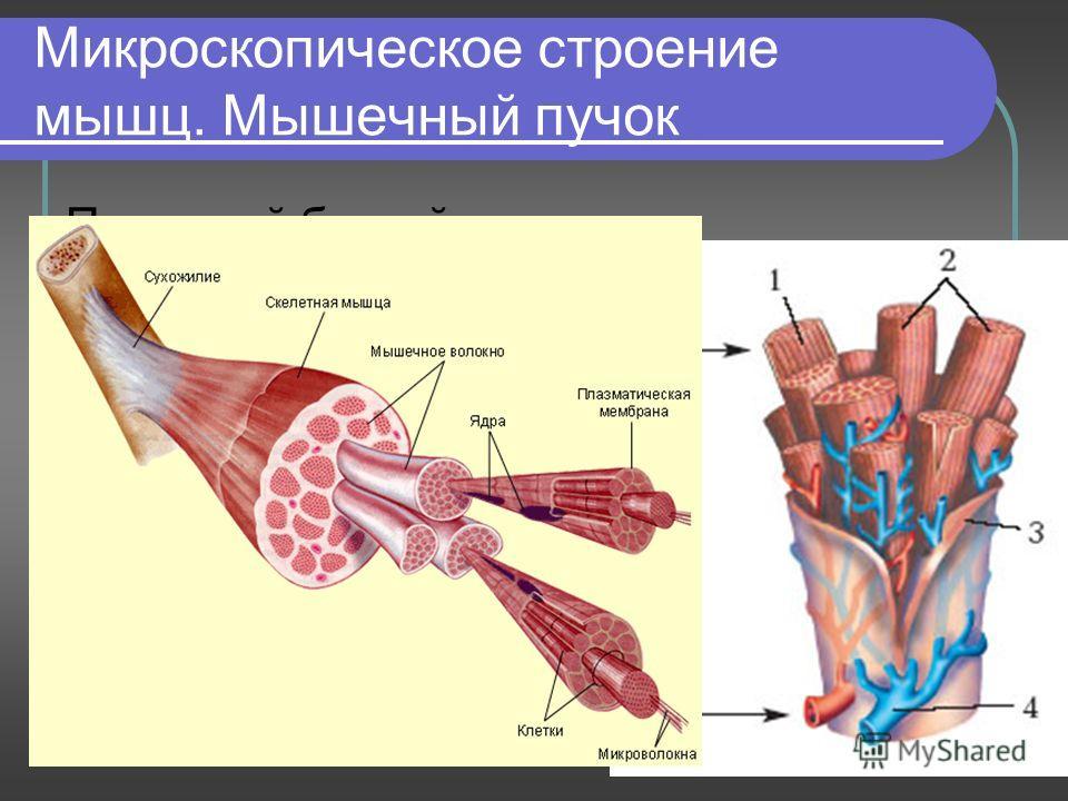 Презентация работа мышц 8 класс скачать бесплатно