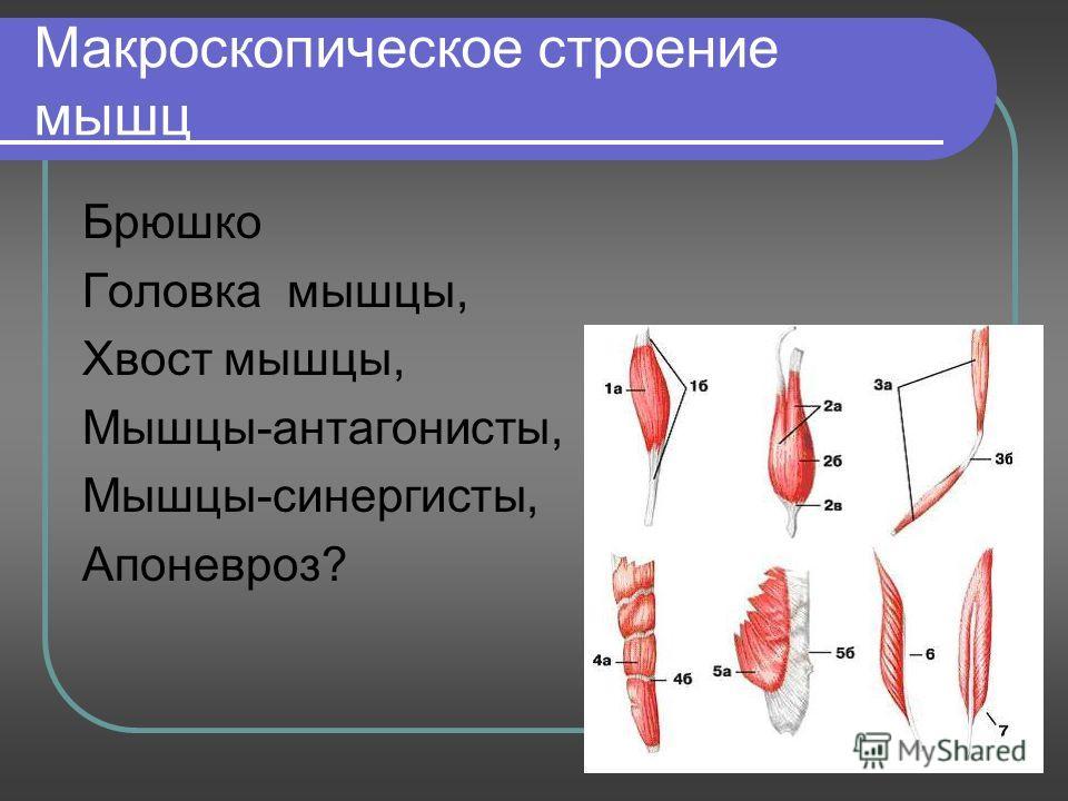 Макроскопическое строение мышц Брюшко Головка мышцы, Хвост мышцы, Мышцы-антагонисты, Мышцы-синергисты, Апоневроз?