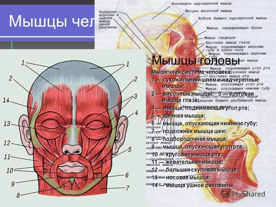 Мышцы человеческого тела Мышцы головы Мышечная система человека: 1 сухожильный шлем и надчерепные мышцы; 2 височные мышцы; 3 круговая мышца глаза; 4 мышца, поднимающая угол рта; 5 щечная мышца; 6 мышца, опускающая нижнюю губу; 7 подкожная мышца шеи;