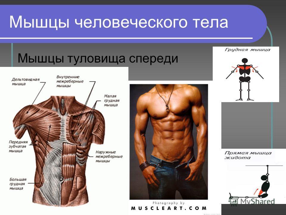 Лабораторная 8 класса на тему мышцы человеческого тела