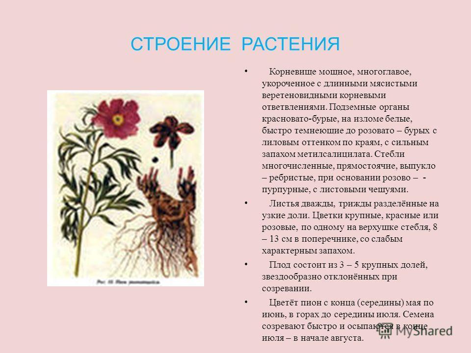 ОПИСАНИЕ РАСТЕНИЯ Пион – представитель семейства лютиковых; это многолетнее травянистое растение семейства пионовых, достигающее в высоту 120 см. Пион уклоняющийся – один из многих сибирских видов, заходящих на север европейской части страны (до Коль