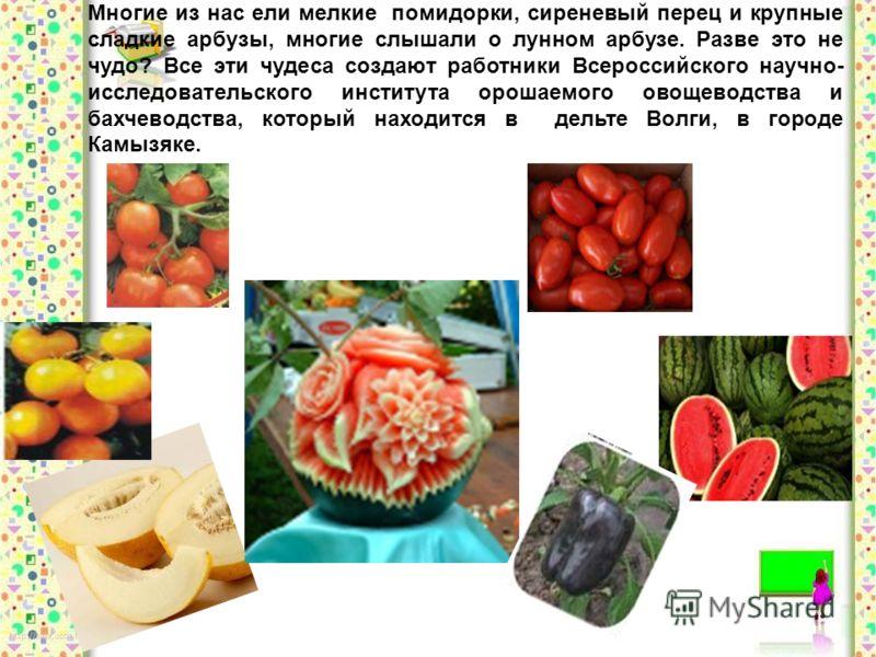 Многие из нас ели мелкие помидорки, сиреневый перец и крупные сладкие арбузы, многие слышали о лунном арбузе. Разве это не чудо? Все эти чудеса создают работники Всероссийского научно- исследовательского института орошаемого овощеводства и бахчеводст