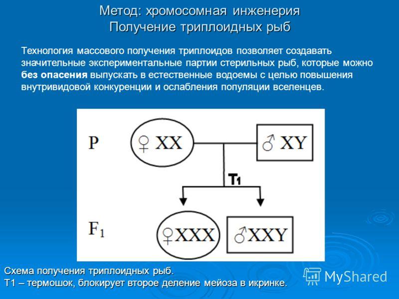 Метод: хромосомная инженерия Получение триплоидных рыб Схема получения триплоидных рыб. Т1 – термошок, блокирует второе деление мейоза в икринке. Технология массового получения триплоидов позволяет создавать значительные экспериментальные партии стер
