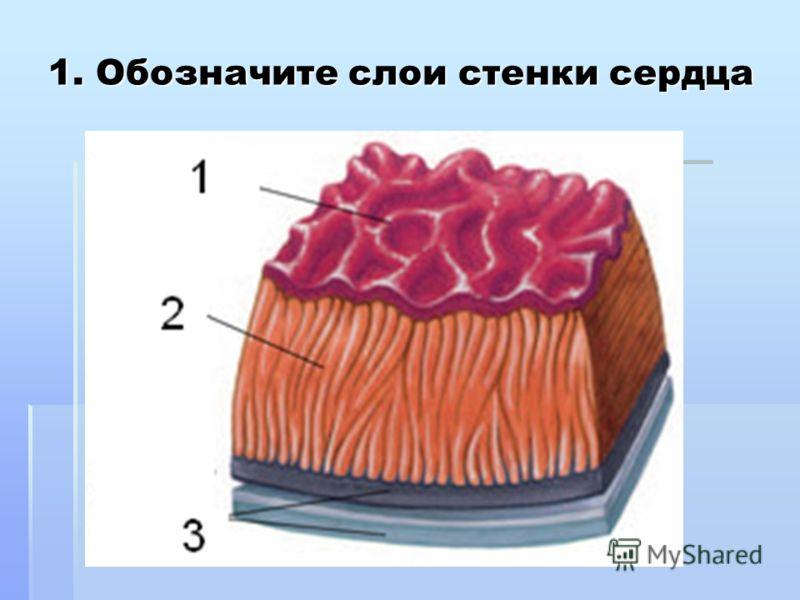 1. Обозначите слои стенки сердца