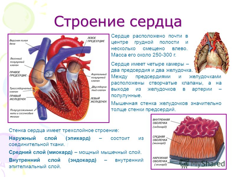 Строение сердца Сердце имеет