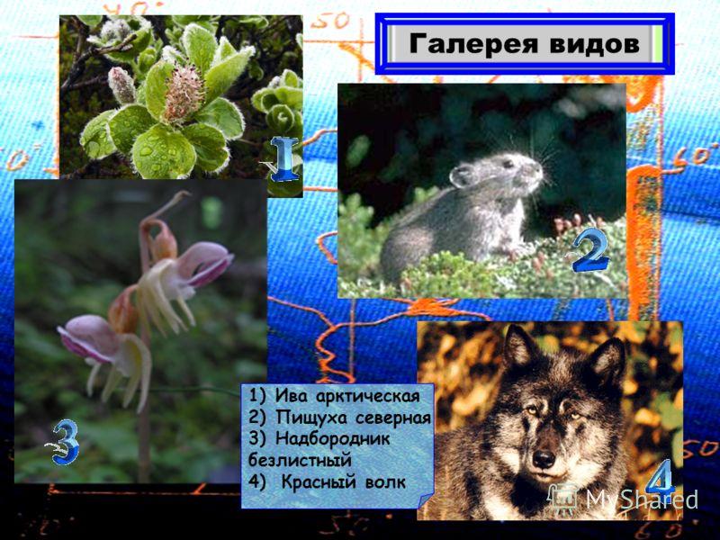 Галерея видов 1)Ива арктическая 2)Пищуха северная 3)Надбородник безлистный 4) Красный волк