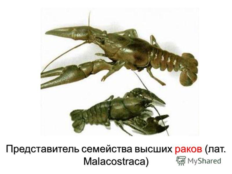 Представитель семейства высших раков (лат. Malacostraca)