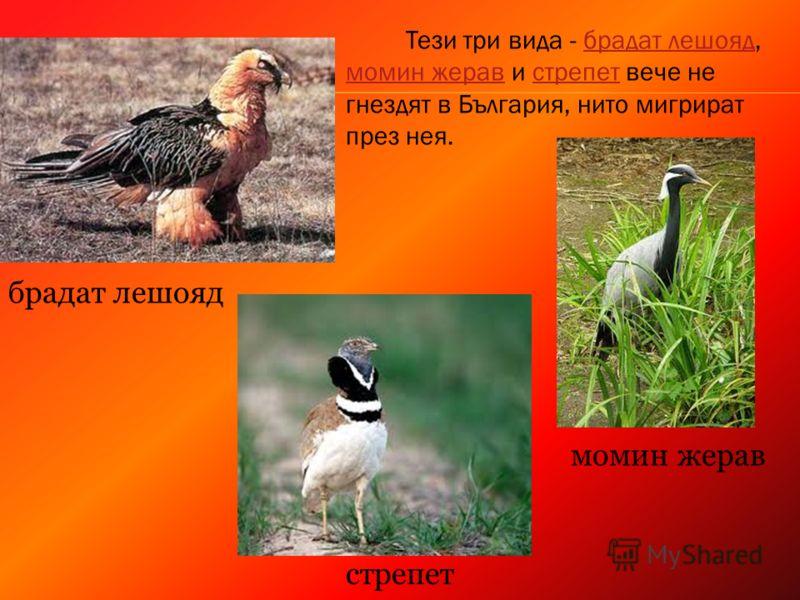брадат лешояд момин жерав стрепет Тези три вида - брадат лешояд, момин жерав и стрепет вече не гнездят в България, нито мигрират през нея.брадат лешояд момин жеравстрепет