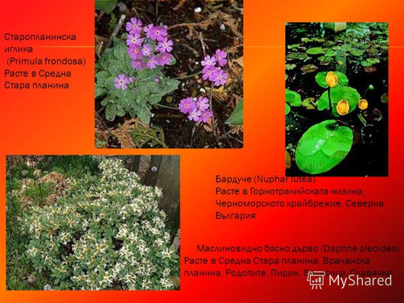Старопланинска иглика (Primula frondosa) Расте в Средна Стара планина Маслиновидно бясно дърво (Daphne oleoides) Расте в Средна Стара планина, Врачанска планина, Родопите, Пирин, Беласица, Славянка Бардуче (Nuphar lutea) Расте в Горнотракийската низи
