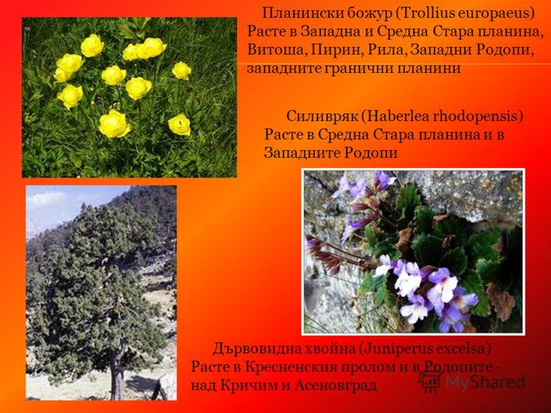 Силивряк (Haberlea rhodopensis) Расте в Средна Стара планина и в Западните Родопи Планински божур (Trollius europaeus) Расте в Западна и Средна Стара планина, Витоша, Пирин, Рила, Западни Родопи, западните гранични планини Дървовидна хвойна (Juniperu