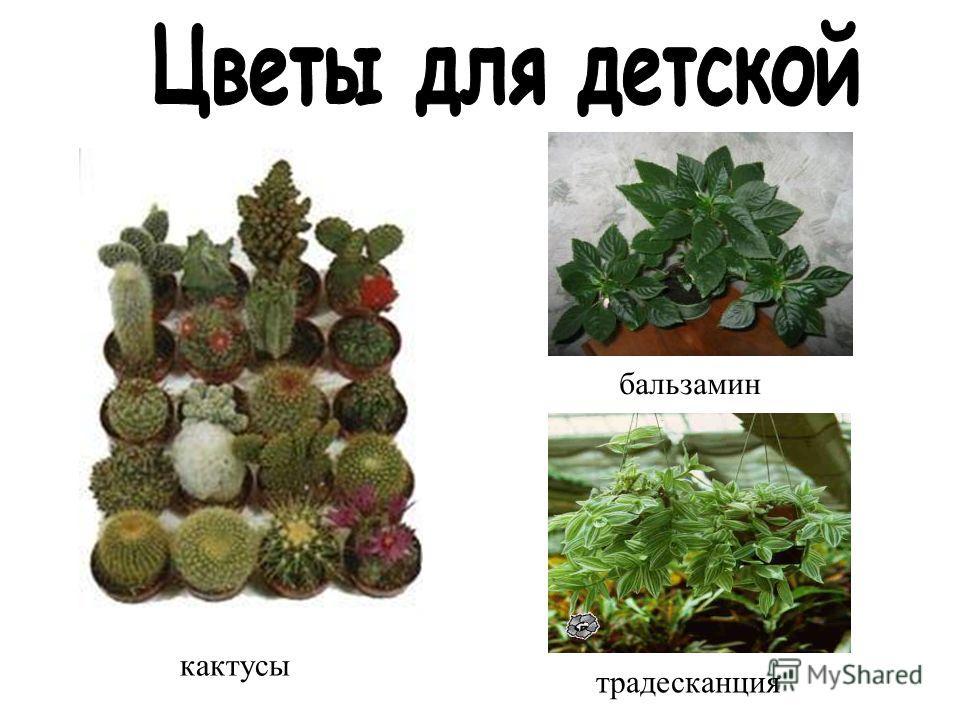 бальзамин традесканция кактусы