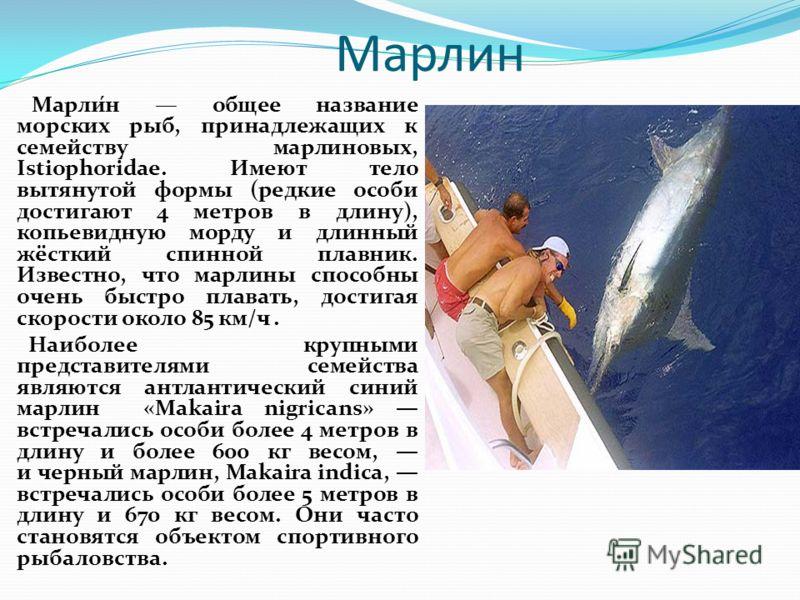 Марлин Марли́н общее название морских рыб, принадлежащих к семейству марлиновых, Istiophoridae. Имеют тело вытянутой формы (редкие особи достигают 4 метров в длину), копьевидную морду и длинный жёсткий спинной плавник. Известно, что марлины способны