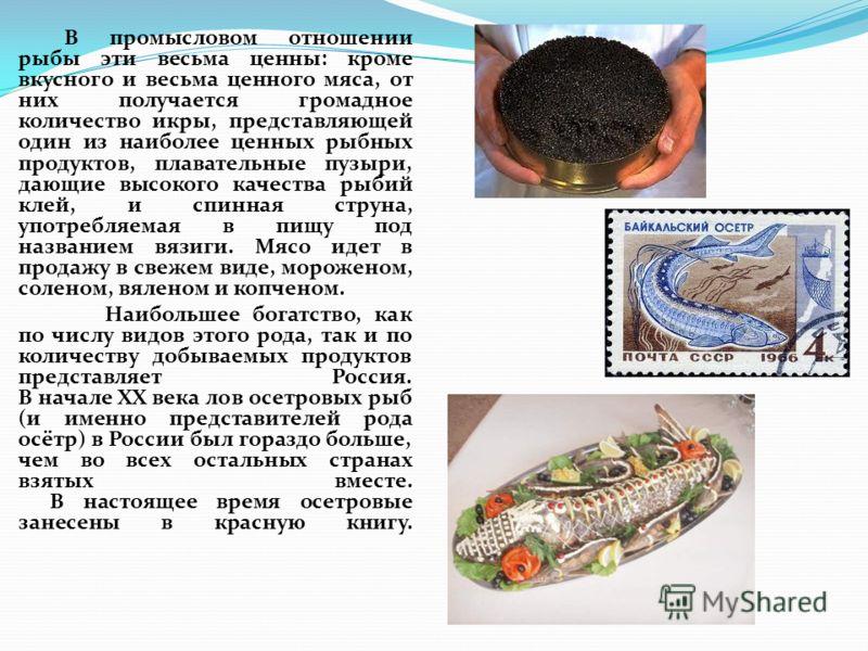 В промысловом отношении рыбы эти весьма ценны: кроме вкусного и весьма ценного мяса, от них получается громадное количество икры, представляющей один из наиболее ценных рыбных продуктов, плавательные пузыри, дающие высокого качества рыбий клей, и спи