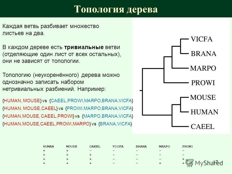 Топология дерева Каждая ветвь разбивает множество листьев на два. В каждом дереве есть тривиальные ветви (отделяющие один лист от всех остальных), они не зависят от топологии. Топологию (неукоренённого) дерева можно однозначно записать набором нетрив