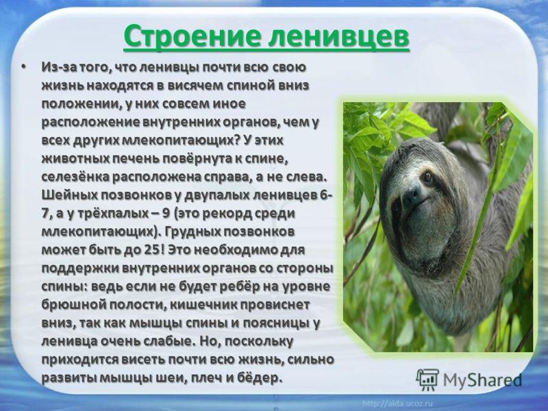Строение ленивцев Из-за того, что ленивцы почти всю свою жизнь находятся в висячем спиной вниз положении, у них совсем иное расположение внутренних органов, чем у всех других млекопитающих? У этих животных печень повёрнута к спине, селезёнка располож