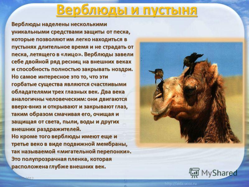 Верблюды и пустыня 20.07.20126 Верблюды наделены несколькими уникальными средствами защиты от песка, которые позволяют им легко находиться в пустынях длительное время и не страдать от песка, летящего в «лицо». Верблюды завели себе двойной ряд ресниц