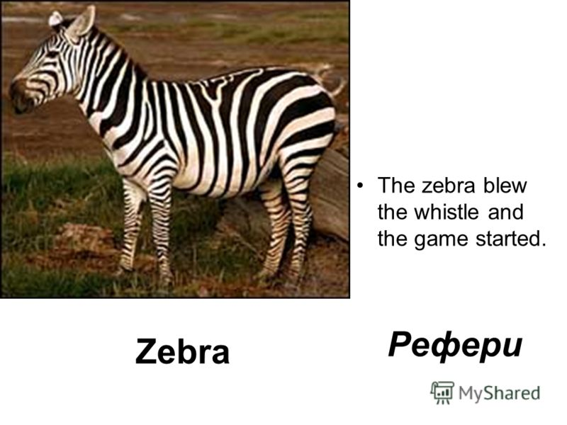 Zebra The zebra blew the whistle and the game started. Рефери