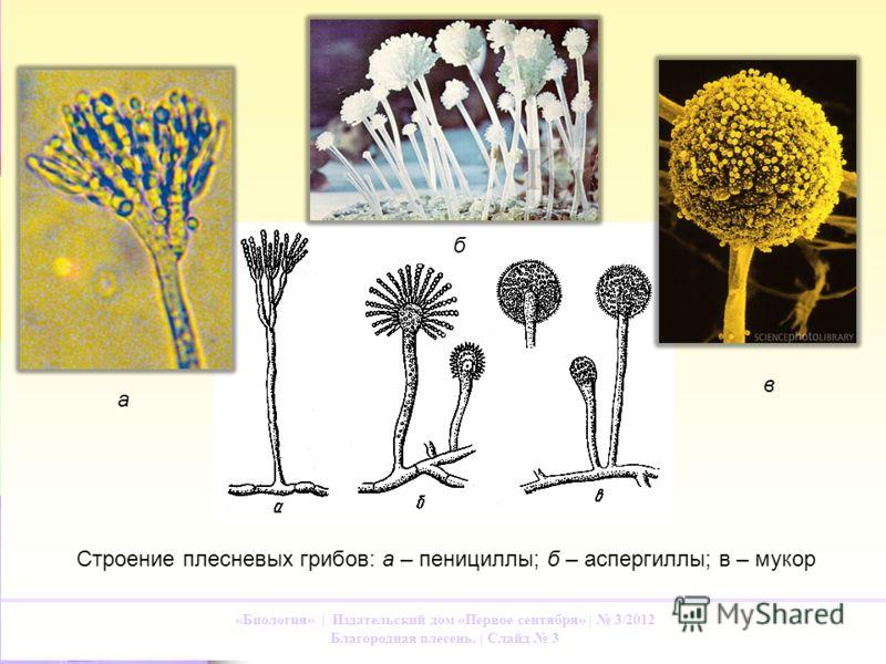 в «Биология» | Издательский дом «Первое сентября» | 3/2012 Благородная плесень. | Слайд 3 Строение плесневых грибов: а – пенициллы; б – аспергиллы; в – мукор а б в
