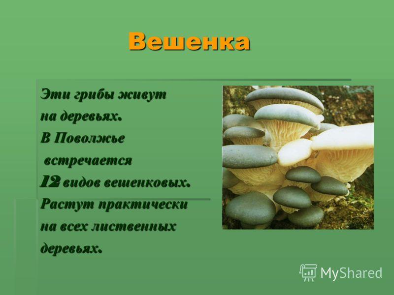 Вешенка Вешенка Эти грибы живут на деревьях. В Поволжье встречается встречается 12 видов вешенковых. Растут практически на всех лиственных деревьях.