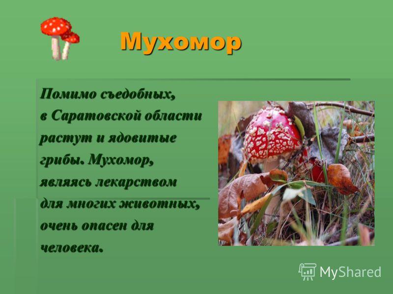 Мухомор Мухомор Помимо съедобных, в Саратовской области растут и ядовитые грибы. Мухомор, являясь лекарством для многих животных, очень опасен для человека.