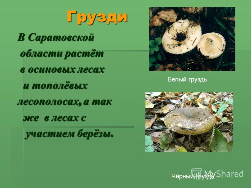 Грузди Грузди В Саратовской области растёт области растёт в осиновых лесах в осиновых лесах и тополёвых и тополёвых лесополосах, а так же в лесах с же в лесах с участием берёзы. участием берёзы. Белый груздь Чёрный груздь