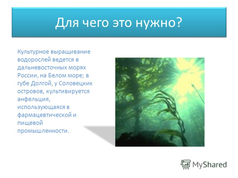 Для чего это нужно? Культурное выращивание водорослей ведется в дальневосточных морях России, на Белом море; в губе Долгой, у Соловецких островов, культивируется анфельция, использующаяся в фармацевтической и пищевой промышленности.