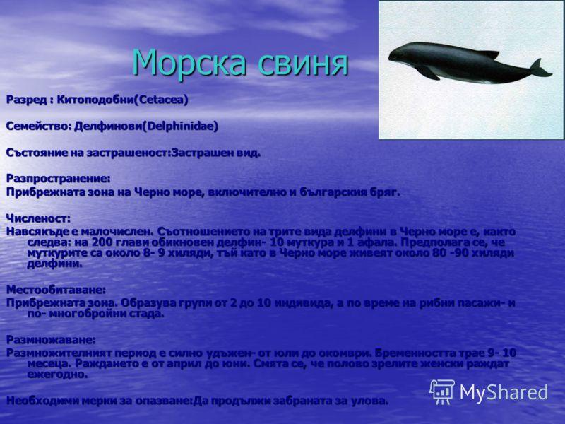 Морска свиня Морска свиня Разред : Китоподобни(Cetacea) Семейство: Делфинови(Delphinidae) Състояние на застрашеност:Застрашен вид. Разпространение: Прибрежната зона на Черно море, включително и българския бряг. Численост: Навсякъде е малочислен. Съот