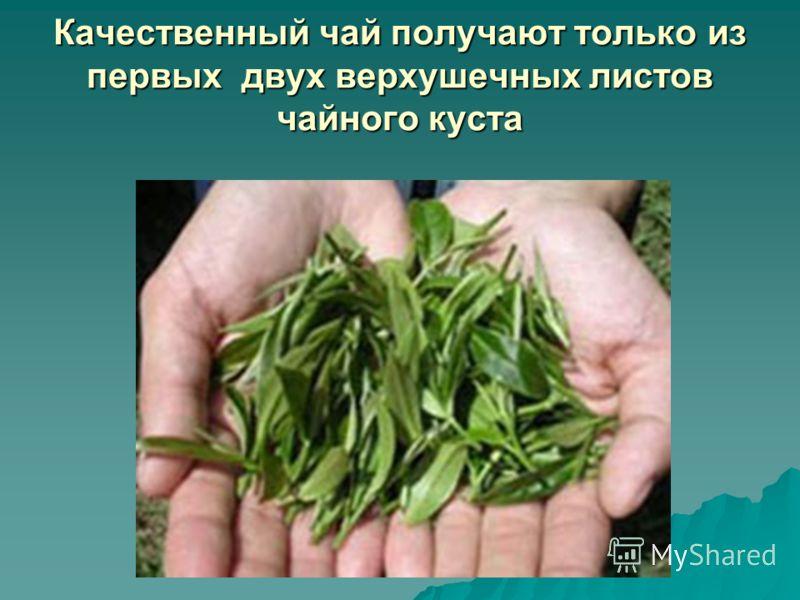 Качественный чай получают только из первых двух верхушечных листов чайного куста