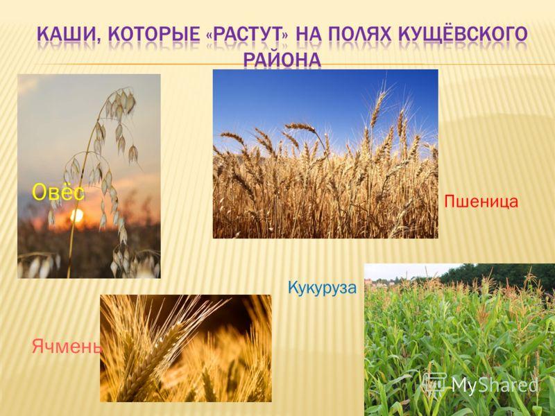 Пшеница Кукуруза Овёс Ячмень