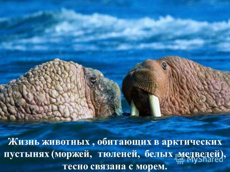 Жизнь животных, обитающих в арктических пустынях (моржей, тюленей, белых медведей), тесно связана с морем.