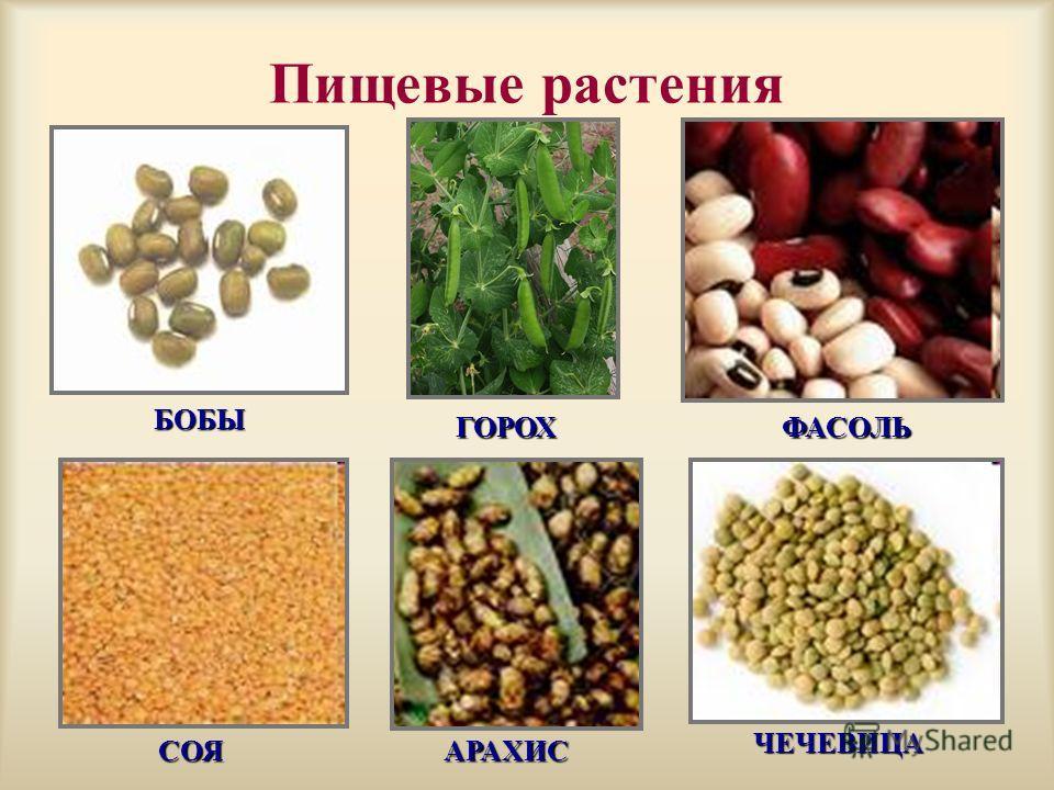 Пищевые растения БОБЫ ГОРОХФАСОЛЬ СОЯАРАХИС ЧЕЧЕВИЦА