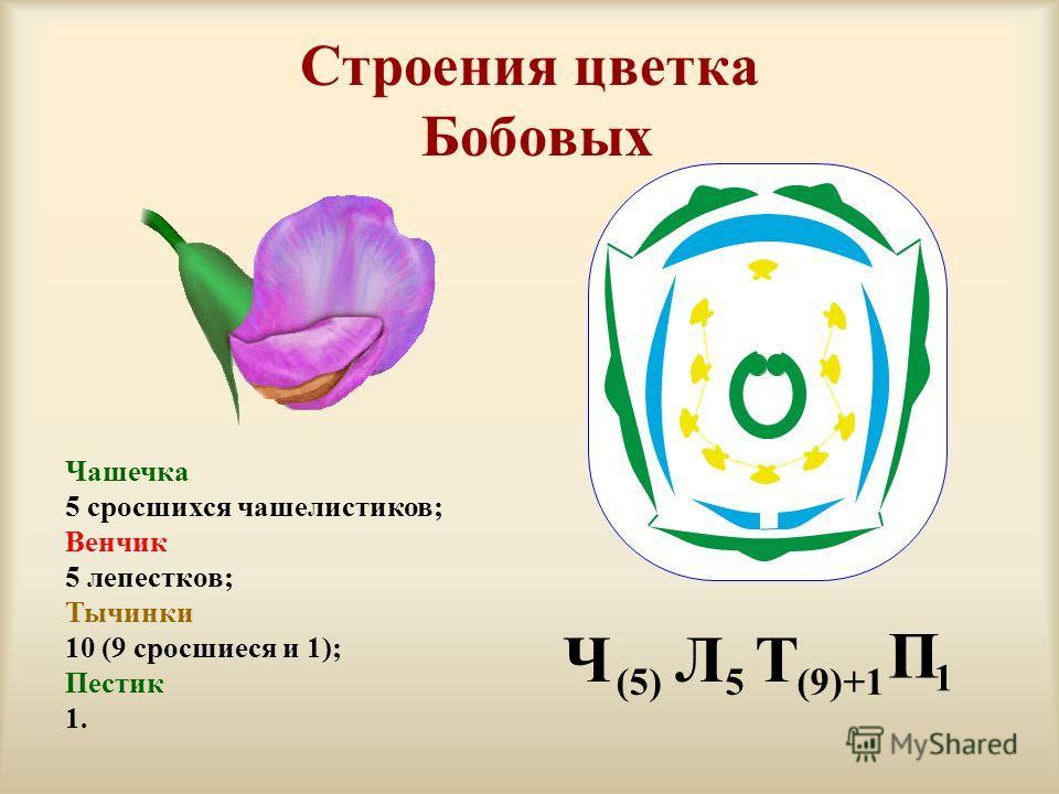Строения цветка Бобовых Чашечка 5 сросшихся чашелистиков; Венчик 5 лепестков; Тычинки 10 (9 сросшиеся и 1); Пестик 1. 1 П (9)+1 Т 5 Л (5) Ч