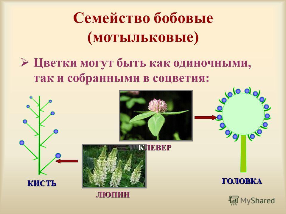 Семейство бобовые (мотыльковые) Цветки могут быть как одиночными, так и собранными в соцветия: КИСТЬ ЛЮПИН ГОЛОВКА КЛЕВЕР