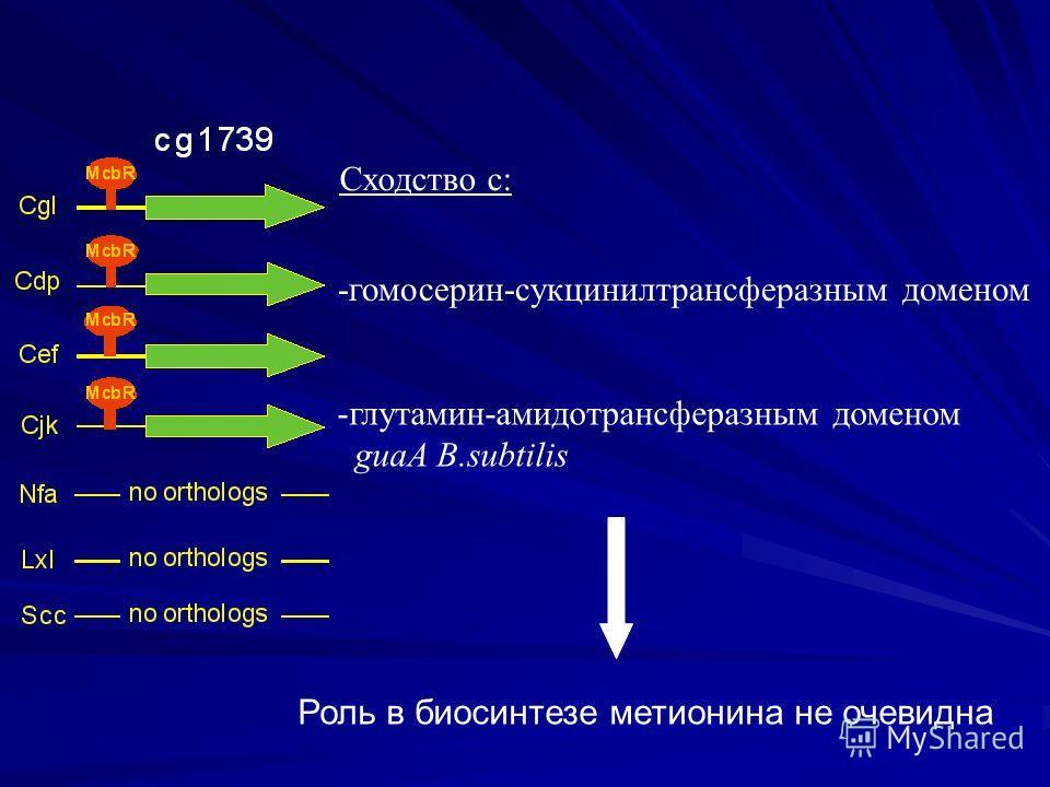 -глутамин-амидотрансферазным доменом guaA B.subtilis Роль в биосинтезе метионина не очевидна Сходство с: -гомосерин-сукцинилтрансферазным доменом
