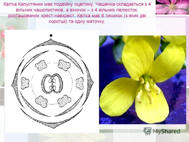 Квітка Капустяних має подвійну оцвітину. Чашечка складається з 4 вільних чашолистиків, а віночок – з 4 вільних пелюсток, розташованих хрест-навхрест. Квітка має 6 тичинок (з яких дві коротші) та одну маточку.